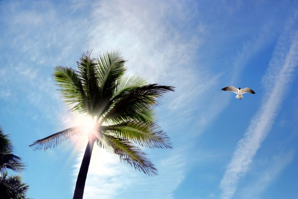 Low angle view of coconut palm tree and flying seagull over sunny blue sky with sunbeam in Florida, USA